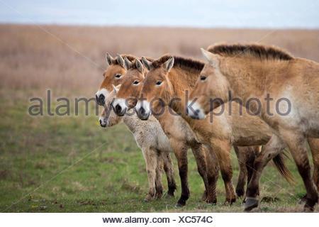 Przewalskis Horse Mongolian Wild Horse (Equus ferus przewalskii) Family standing Lake Neusiedl Austria - Stock Photo