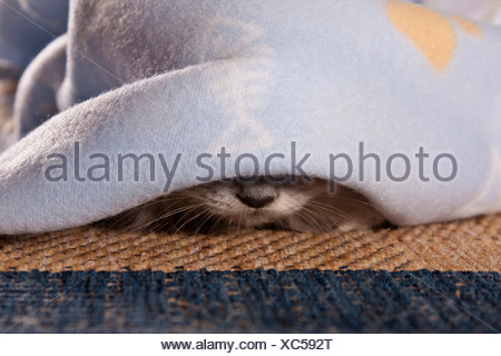 domestic cat, house cat (Felis silvestris f. catus), nose of a cat under a blanket - Stock Photo