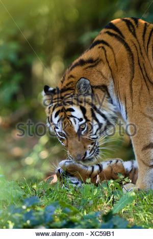 Siberian Tigers, mother and cub, Panthera tigris altaica, captive - Stock Photo