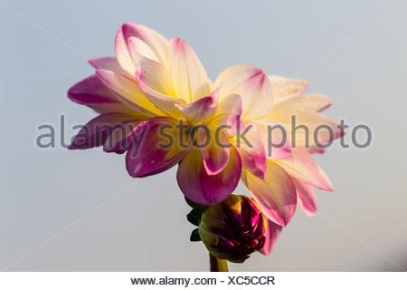White-pink Dahlia (Dahlia sp.), Hesse, Germany, Europe - Stock Photo