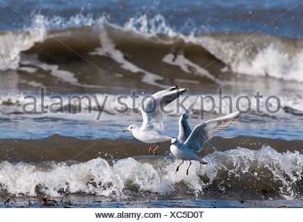 Two gulls about to land at the seashore - Stock Photo