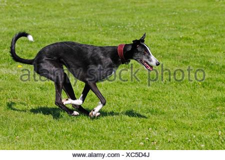 Galgo Espanol, Spanish Galgo, Spanish Greyhound (Canis lupus familiaris) running on a coursing race course - Stock Photo