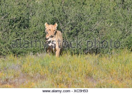 Lioness (Panthera leo), carrying her cub in her mouth, Kgalagadi Transfrontier Park, Northern Cape, South Africa, Africa - Stock Photo