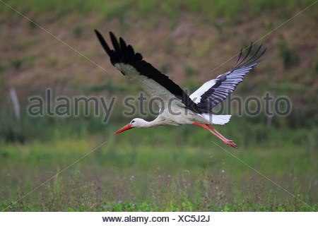 white stork (Ciconia ciconia), flying, Germany - Stock Photo