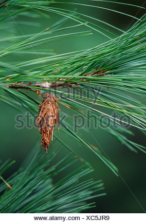 BAG OF THE EVERGREEN BAGWORM (THYRIDOPTERYX EPHEMERAEFORMIS) PEST OF ORNAMENTAL TREES AND SHRUBS LITITZ, PA - Stock Photo