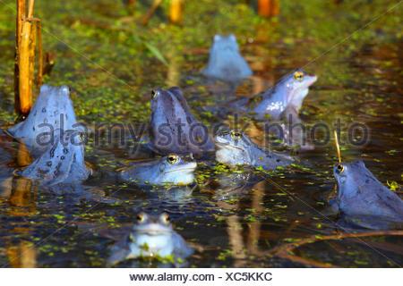 moor frog (Rana arvalis), intensive blue male moor frogs at mating season, Germany - Stock Photo