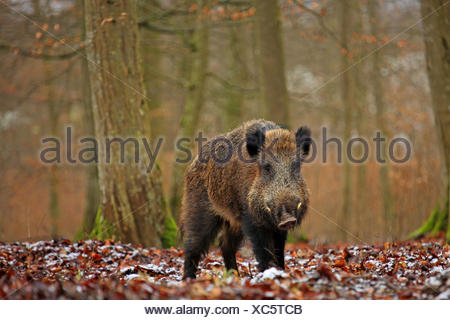 wild boar, pig, wild boar (Sus scrofa), tusker in the winter forest, Germany, Baden-Wuerttemberg - Stock Photo