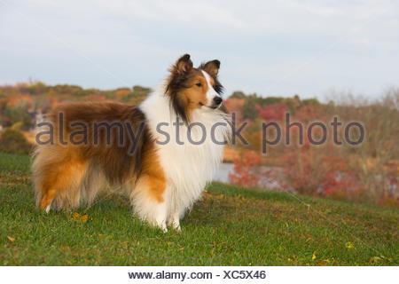 Shetland sheepdog in autumn, Waterford, Connecticut, USA. - Stock Photo