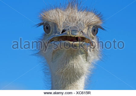 ostrich (Struthio camelus), with open beak, South Africa, Western Cape - Stock Photo