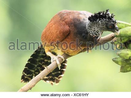 Pavón Grande, Crax rubra. Parque nacional de corcovado, Península de Osa, Costa Rica. - Stock Photo