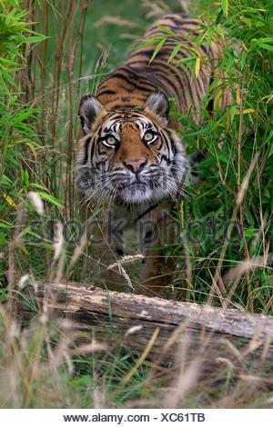 Siberian Tiger (Panthera tigris altaica), adult, native to Asia, captive, England, United Kingdom - Stock Photo