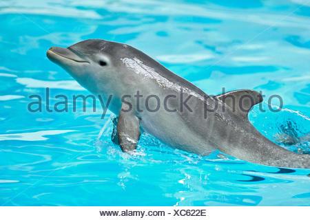 Bottlenosed dolphin, Common bottle-nosed dolphin (Tursiops truncatus), swimming - Stock Photo