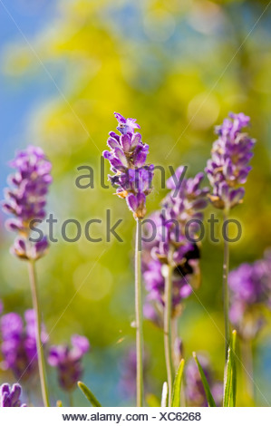 Close-up of lavender flowers against blurred background - Stock Photo