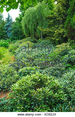 Yak Rhododendron, Yakushima Rhododendron (Rhododendron yakushimanum), in rhododendron garden - Stock Photo