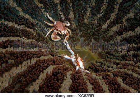 Porcelain Crab (Neopetrolisthes maculatus, Neopetrolisthes oshimai), fighting on an sea anemone, Philippines