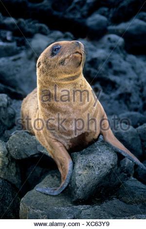 California sea lion pup (Zalophus californicus wollebacki), James Island, Galapagos Archipelago, Ecuador - Stock Photo