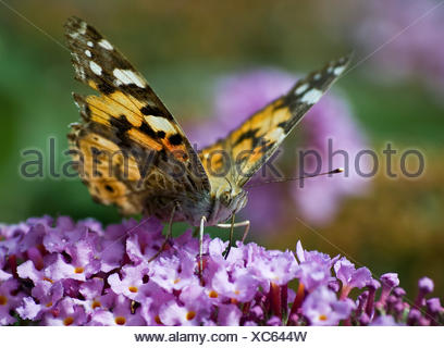 butterfly c-fuchs - Stock Photo