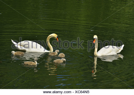 mute swan (Cygnus olor), with Cygnets in the Spring, Germany, Baden-Wuerttemberg, NSG Taubergiessen - Stock Photo