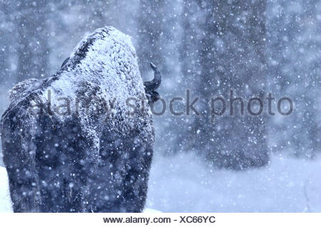Bison bison bonasus Bovinae cattle buffaloes horns bovine cloven-hoofed animal bisons winter bisons snow animal animals Germ - Stock Photo