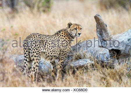 Cheetah in Kruger National park - Stock Photo