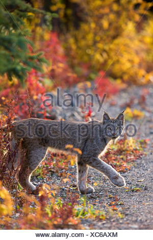 A wild lynx, Denali National Park, Alaska. - Stock Photo