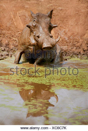 common warthog, savanna warthog (Phacochoerus africanus), at a water hole, Kenya - Stock Photo
