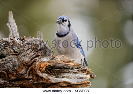 Blue Jay Cyanocitta cristata Visiting winter sunflower seed feeder - Stock Photo