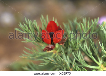 PHEASANT'S-EYE Adonis annua (Ranunculaceae) - Stock Photo