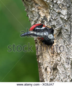 Red-naped Sapsucker, Sphyrapicus nuchalis, looking out of its nest hole in Eastend, Saskatchewan, Canada - Stock Photo