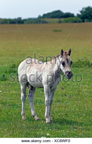 Konik horse (Equus przewalskii f. caballus), colt, tarpan or wild horse, backbreeding - Stock Photo