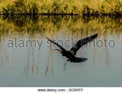 An African darter, Anhinga rufa, flying over a river in Botswana's Okavango Delta. - Stock Photo