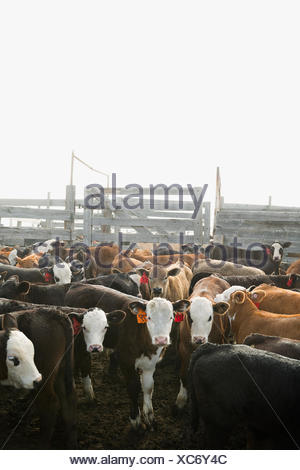 Tagged cows in corral on cattle ranch - Stock Photo