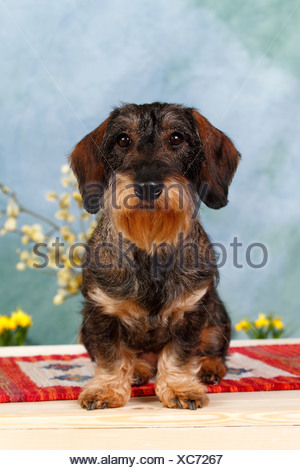 Wire-haired dachshund, sitting - Stock Photo