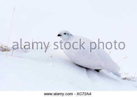 Rock ptarmigan (Lagopus mutus), sitting well camouflaged in the snow, Hafelekar, Innsbruck, Tyrol, Austria - Stock Photo