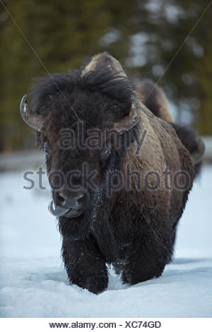 An American bison, Bison bison, walks in the snow. - Stock Photo