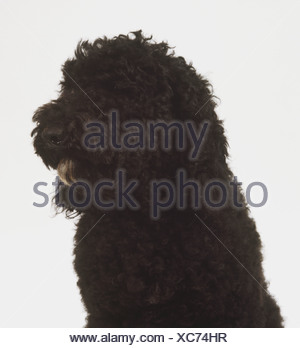 Head only view of a barbet dog - Stock Photo