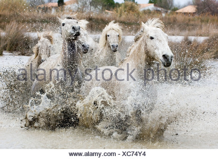 Camargue White Horses (stallions) charging through water, Camargue, Provence, France - Stock Photo