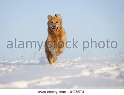 Golden Retriever (Canis lupus f. familiaris), running through the snow, Germany - Stock Photo