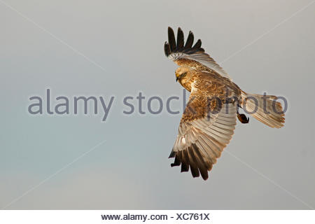 Marsh Harrier (Circus aeruginosus) in flight, Feldberg Lake District, Feldberg - Mecklenburg, Mecklenburg-Western Pomerania - Stock Photo