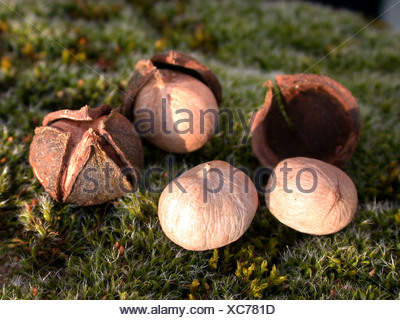 bitter-nut hickory, bitternut hockory (Carya cordiformis), Nuts with husks - Stock Photo