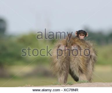 Baby Chacma Baboon (Papio ursinus) riding mothers back, Okavango Delta, Botswana - Stock Photo