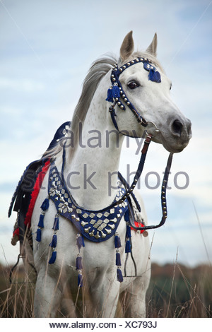 Thoroughbred Arab gelding, grey, wearing a traditional Egyptian bridle - Stock Photo