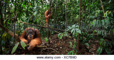 Sumatran orangutan (Pongo abelii) mature male 'Halik' aged 26 years sitting in forest clearing watched tree by female 'Juni' aged 12 years. Gunung Leuser National Park Sumatra Indonesia. Rehabilitated released (or descended those which were released) betw - Stock Photo