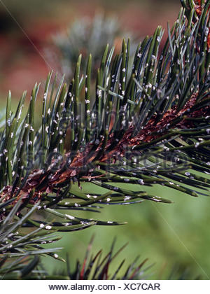 bristlecone pine (Pinus aristata), branch - Stock Photo