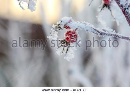 Dog rose hips frosen on a bush - Stock Photo