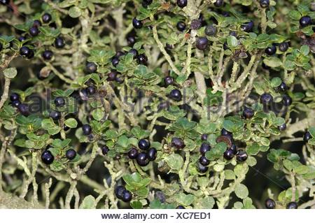 ilex crenata evergreen shrub or small tree sometimes. Black Bedroom Furniture Sets. Home Design Ideas