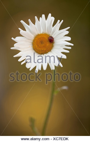 Daisy, Ox-eye daisy, Leucanthemum vulgare, White. - Stock Photo