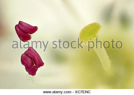 Weissdorn (Crataegus spec.), Narbe und Staubbeutel, Deutschland | hawthorn, white thorn, hawthorns (Crataegus spec.), stigma and - Stock Photo