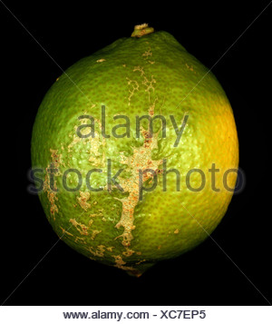 Wind scarring on lemon skin - fruit damage on the tree - Stock Photo