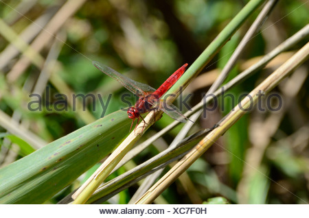 Broad Scarlet, Scarlet Dragonfly, Dragonfly, insect, animal, Stille Reuss, Rottenschwil, Canton, Aargovie, Switzerland - Stock Photo